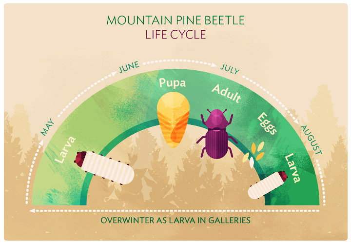 Pine on the Decline: The Mountain Pine Beetle Life Cycle