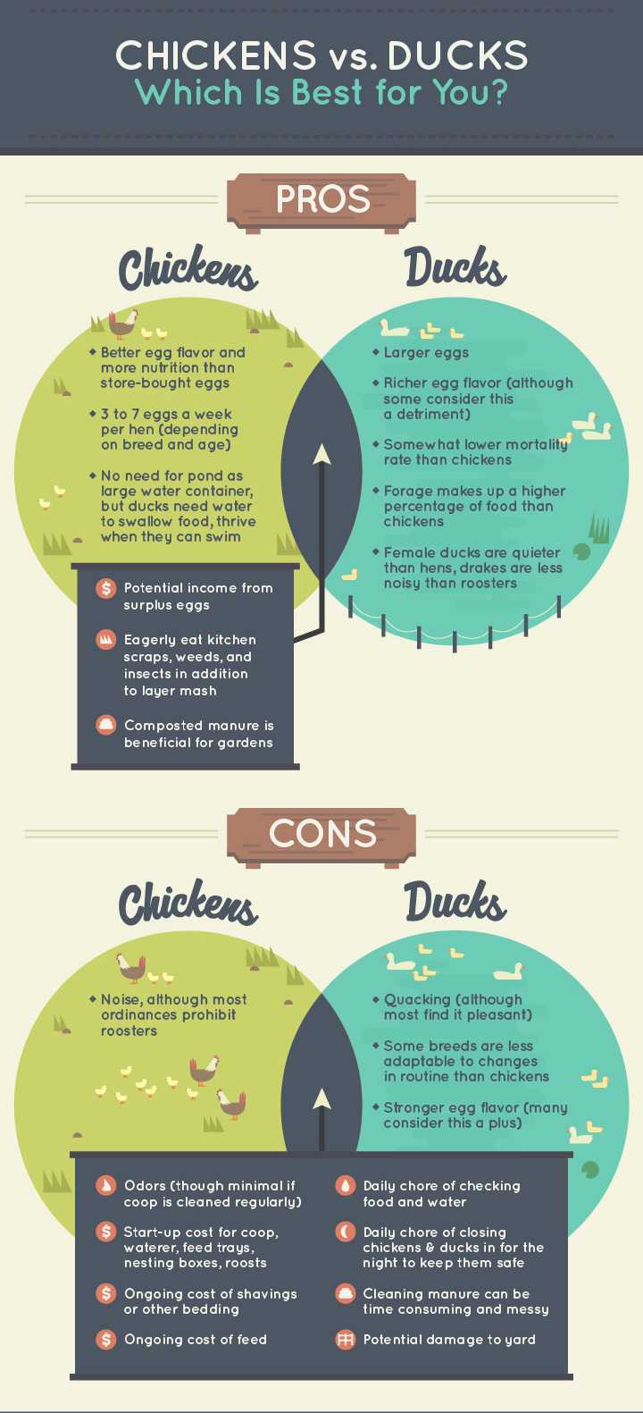 Chickens vs. Ducks: Which Is Better For You?